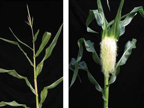 El gen que determina el sexo floral puede ser clave para nuevas semillas híbridas