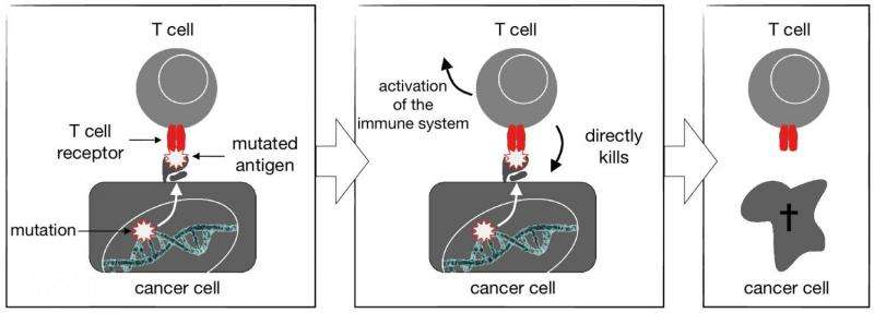 Gene therapy: T cells target mutations to fight solid tumors