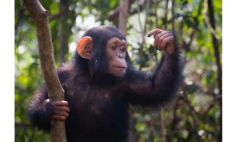 Genomes of chimpanzee parasite species reveal evolution of