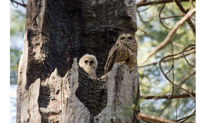 Giant forest fires exterminate spotted owls, long-term study finds