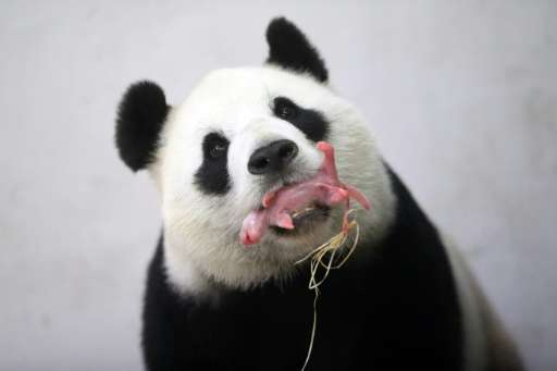 Giant panda Hao Hao holds her cub in her mouth at the Paira Daiza zoo in Belgium on June 2, 2016