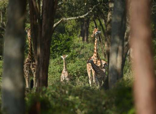 Giraffe are sometimes poached for their meat, their tails or their bones, bone marrow and brains, said to be a cure for HIV/AIDS