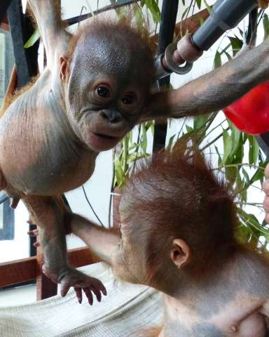Gito (L), a baby orangutan, playing with other baby orangutans two months after being rescued, after being dumped under the baki