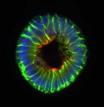 Gut microbes' metabolite dampens proliferation of intestinal stem cells