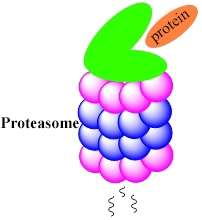 Halting protein degradation may contribute to new cancer treatment