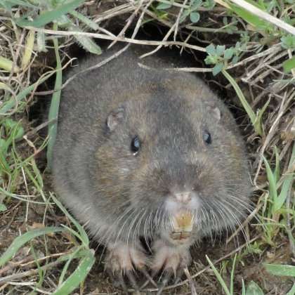Hard soils no headache for pocket gopher