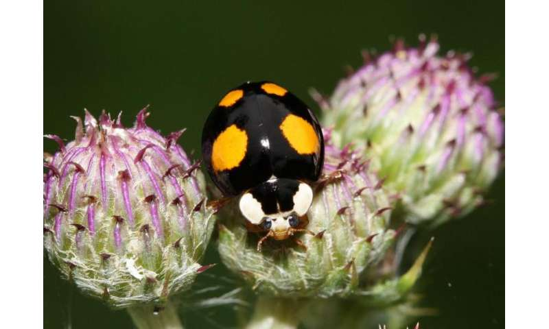 Harlequin ladybirds are conquering the world at great speed
