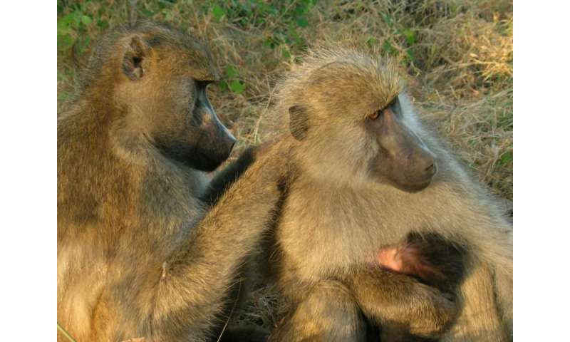 Having well-connected friends benefits female baboons, study finds