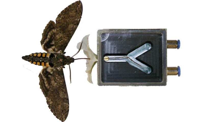 Hawk moths have a second nose for evaluating flowers