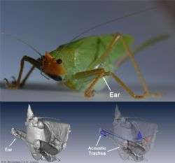 Hearing the same sound twice in each ear helps insects locate their mates, new research reveals