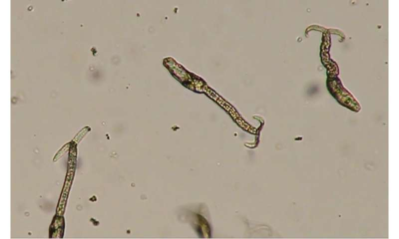 Heat shock protein appears to turn on Schistosoma invasion
