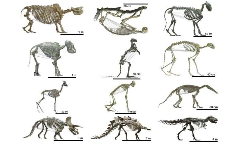 Herbivorous mammals have bigger bellies