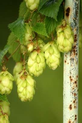 Hops extract studied to prevent breast cancer