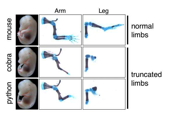 How snakes lost a blueprint for making limbs