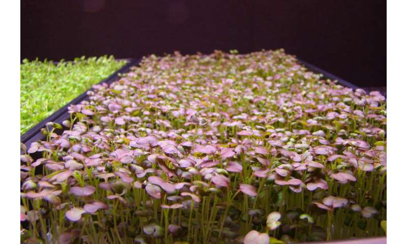 How sole-source LEDs impact growth of Brassica microgreens