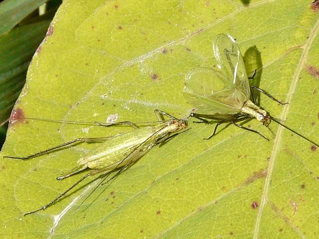 How tree crickets tune into each other's songs