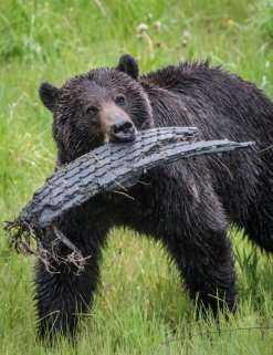 Human settlement and abundant fruit create ecological trap for grizzlies