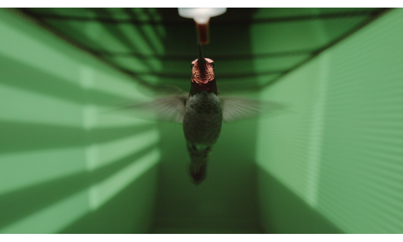 Hummingbird vision wired to avoid high-speed collisions