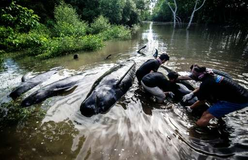Indonesian environmental activists try to help a group of short-finned pilot whales that became stranded during a high tide in P