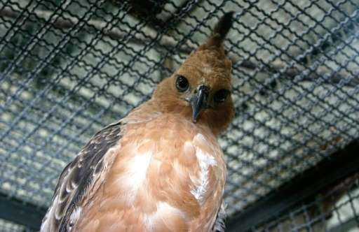 Indonesia's national bird, the Javan Hawk-eagle, is among 13 bird species at serious risk of extinction mainly due to the pet tr