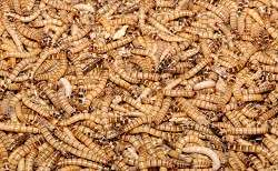 Insect larvae as an additional source of protein for Europe's animal feed