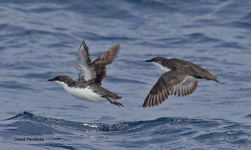 Island Restoration Supports Conservation of Two Pacific Seabird Species