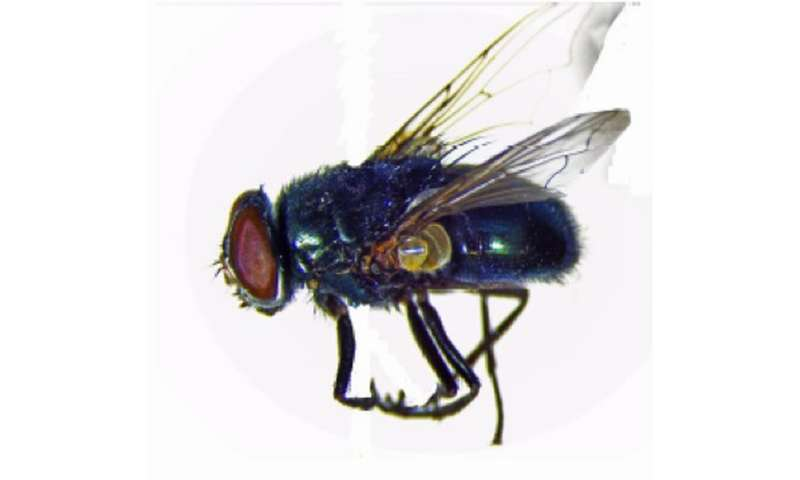 IUPUI maps genome of black blow fly; may benefit human health, advance pest management