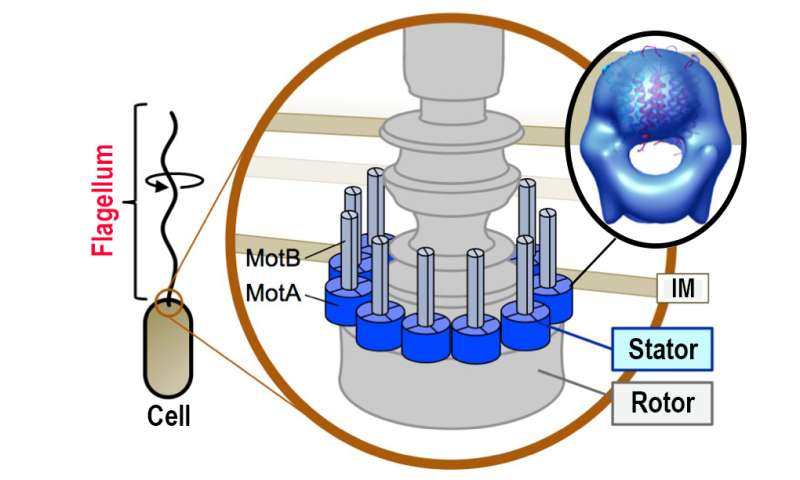 Japanese research team elucidates structure of bacterial flagellar motor protein