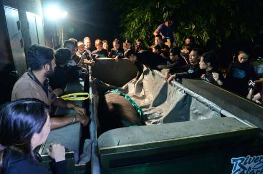Junior the manatee is loaded into a crate at the River Safari theme park in Singapore