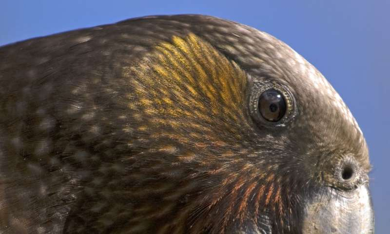 Juvenile kaka found to be better problems solvers than their elders