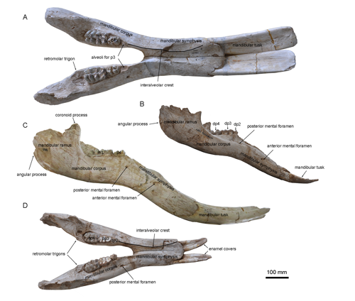 Konobelodon was discovered firstly in China by the Institute of Vertebrate Paleontology and Paleoanthropology