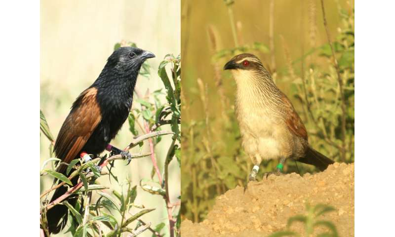 Lack of opportunities promotes brood care