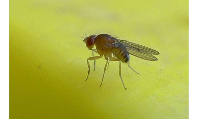 Ladykiller: Artificial sweetener proves deadly for female flies