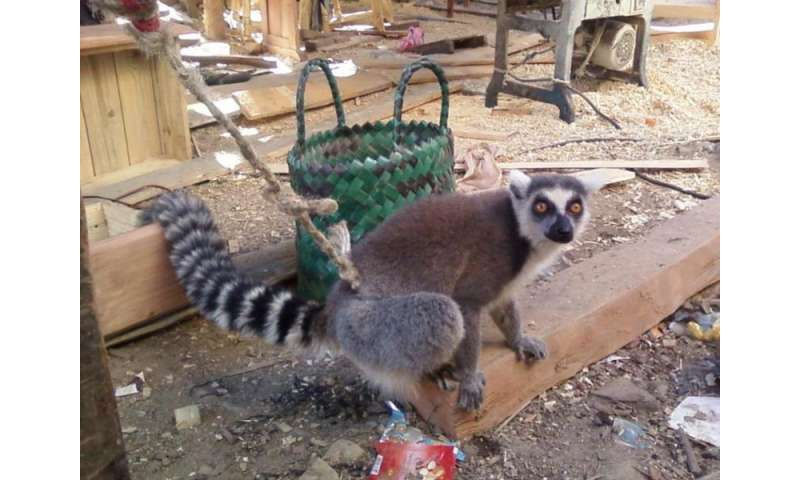 Lemur poop could pinpoint poaching hotspots