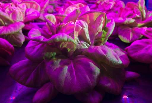 Lettuce is grown within an automated internal agricultural system with violet LED lighting at Urban Crops in Waregem