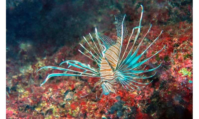 Lionfish invading the Mediterranean Sea