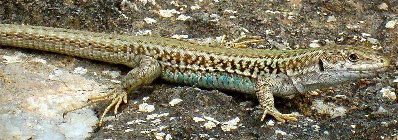 Lizards camouflage themselves by choosing rocks that best match the color of their backs