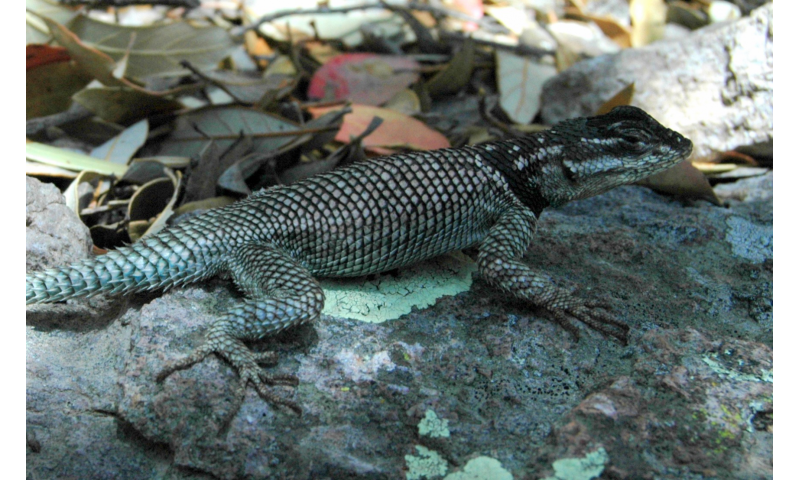 Lizard study finds global warming data not enough to predict animal extinction