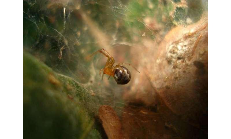Loner spiders prevail as pioneers