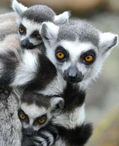 Madagascar is the only place where lemurs live in the wild, having evolved separately from their cousins, the African ape, over