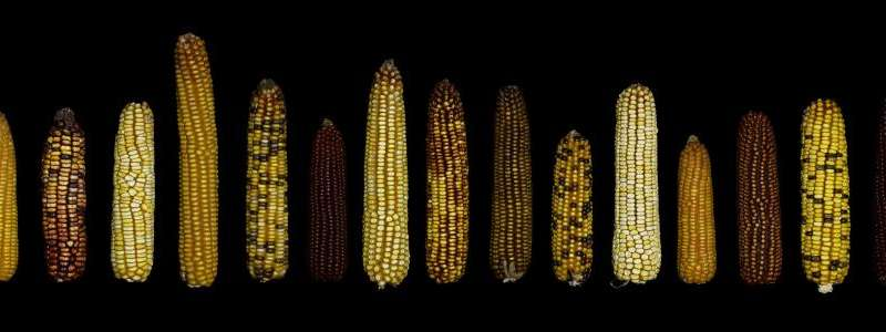 Maize genome 'dark matter' discovery a boon for breeders