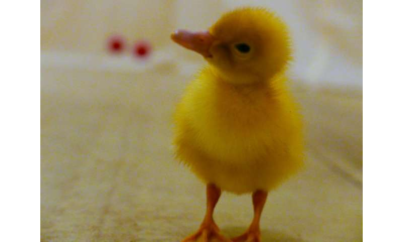 Make way for ducklings; they're smarter than you thought