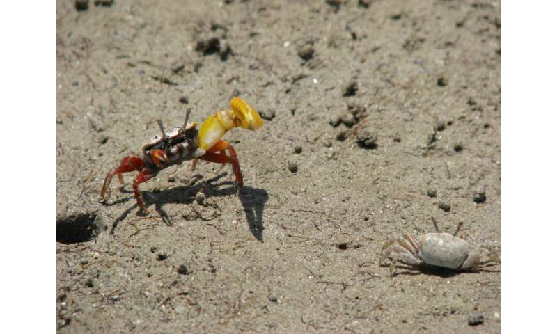 Male banana fiddler crabs may coerce mating by trapping females in tight burrows