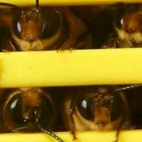 Male bees protect female bees from sexually transmitted diseases