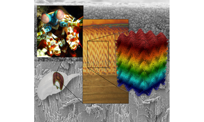 Mantis shrimp inspires next generation of ultra-strong materials