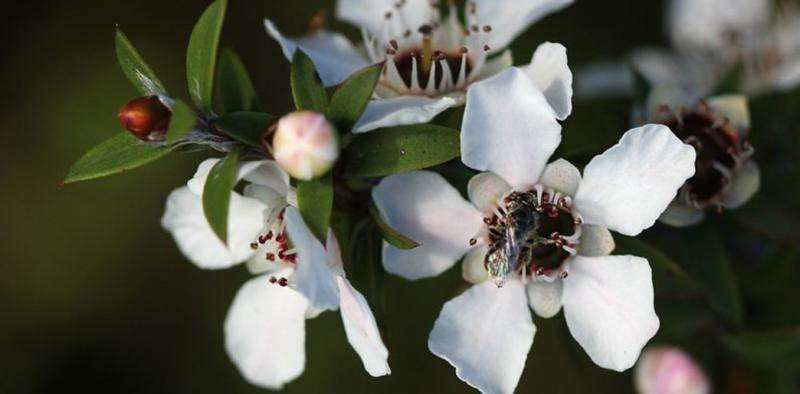 Manuka honey may help prevent life-threatening urinary infections