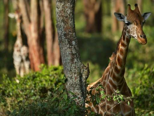 Many giraffe live in Africa's most conflict-torn regions, making conservation a challenge