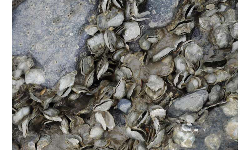 Mass oyster die-off in San Francisco related to atmospheric rivers