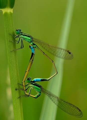 Mating damselflies are seen in a paddy field at the International Rice Research Institute (IRRI) in Laguna, Philippines