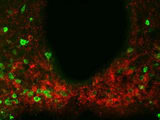 Metabolism protein found to also regulate feeding behavior in the brain